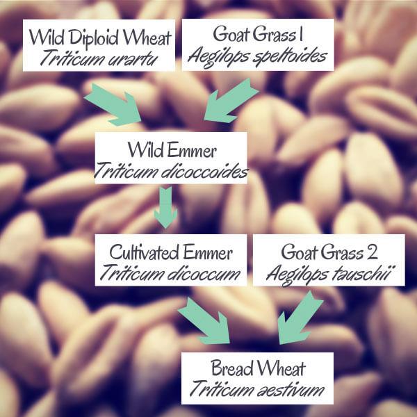 Wheat Family Tree