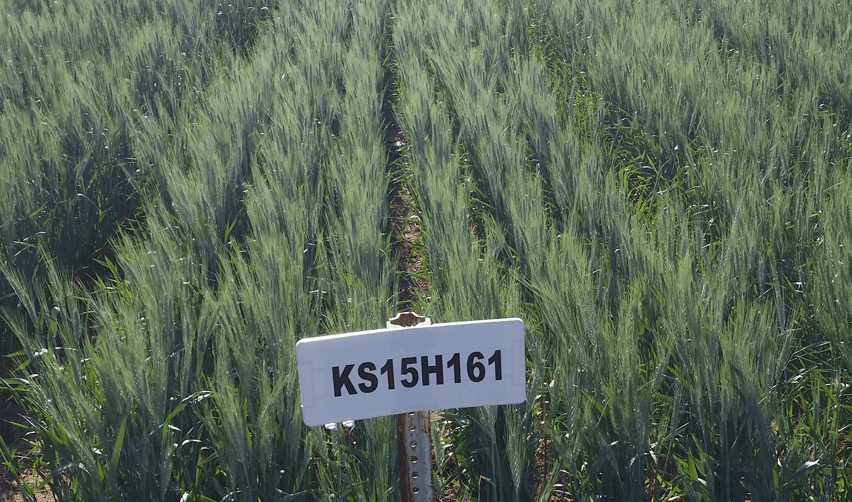 KS Western Star Field