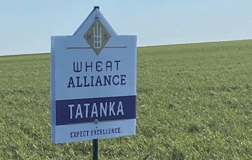 Photo: Tatanka Wheat Variety.
